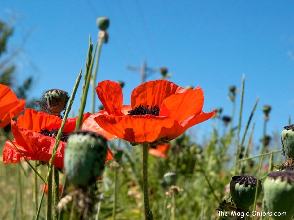 dandelions and poppies - www.theMagicOnions.com