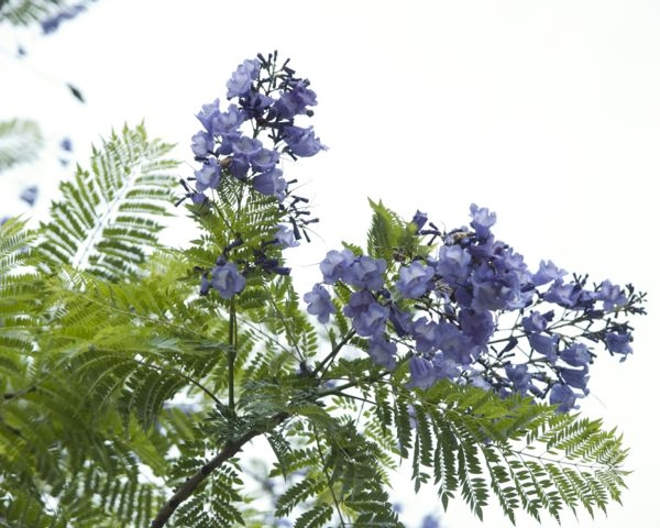 Jacaranda Trees in Bloom : www.theMagicOnions.com