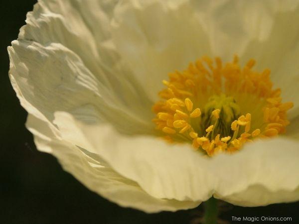 Poppies : theMagicOnions.com