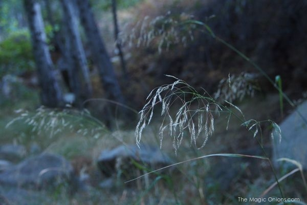 52 Weeks in Nature : The Magic Onions