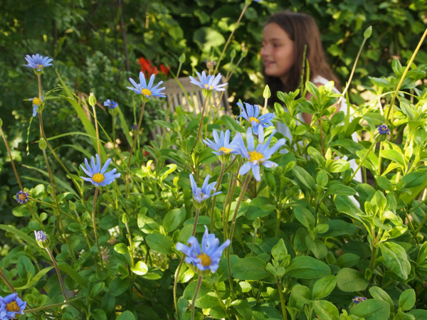 photo of blue daisies
