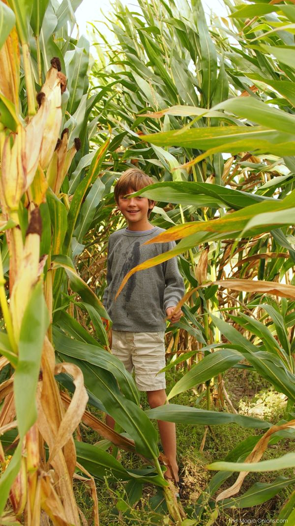 Photo of an Organic Corn Field : www.theMagicOnions.com