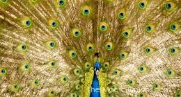 Beautiful Peacock Photo :: The Magic Onions :: www.theMagicOnions.com