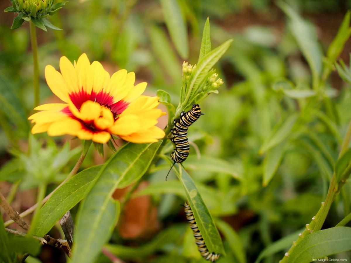Catapillar Nature Walk :: www.theMagicOnions.com