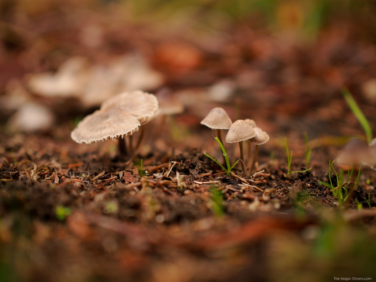 Mushrooms : Nature Photos -- www.theMagicOnions.com