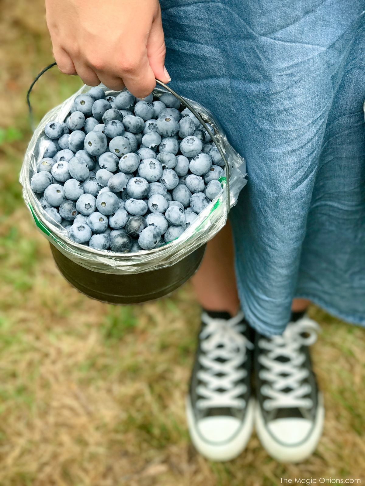 Picking Blueberries at Monadnock Berries, New Hampshire 7