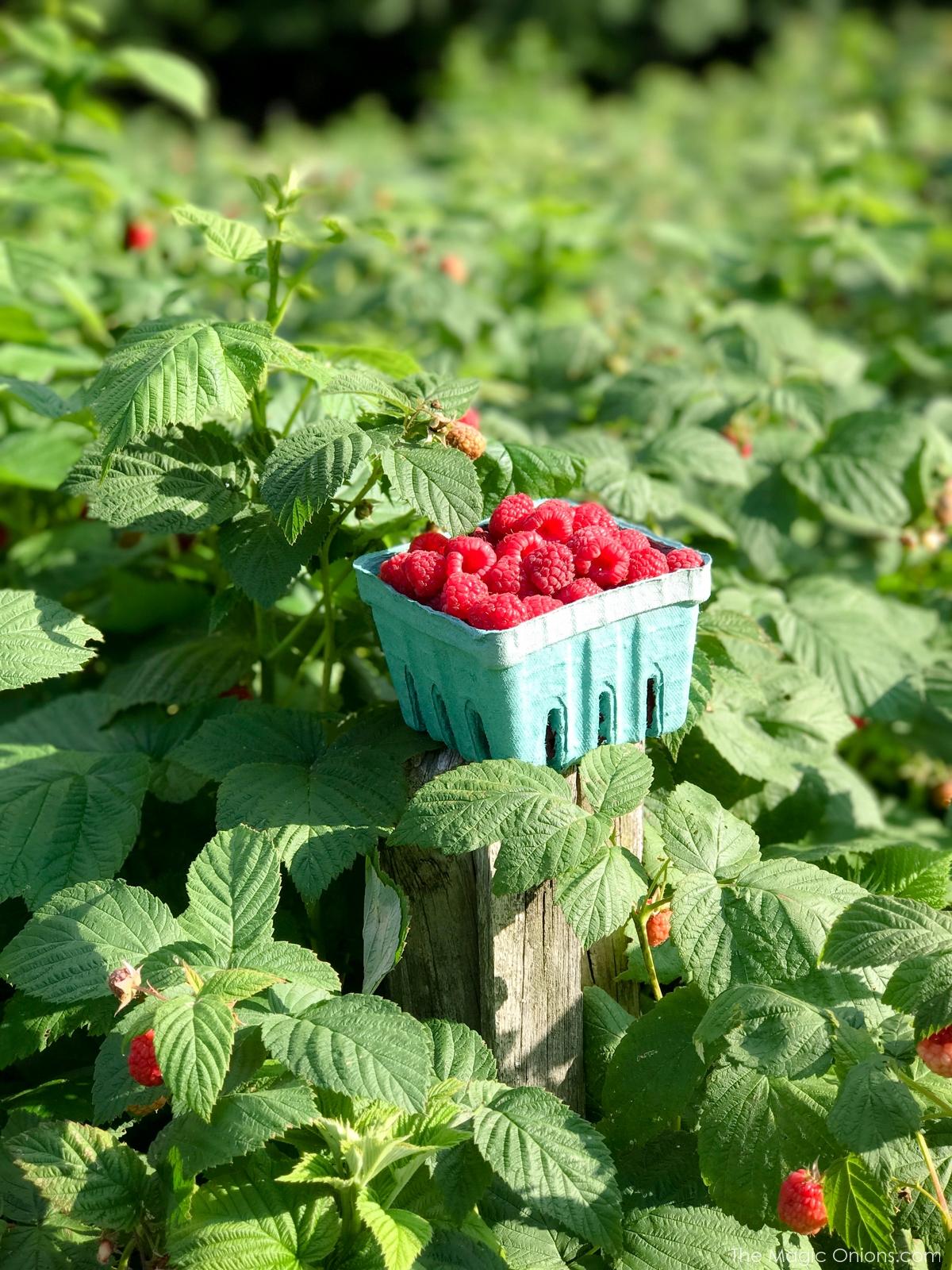 Photo of fresh PYO raspberries